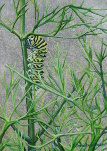 Swallowtail Caterpillar and Dill